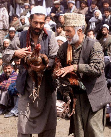 kabul afghanistan pictures. Cockfighting Kabul Afghanistan